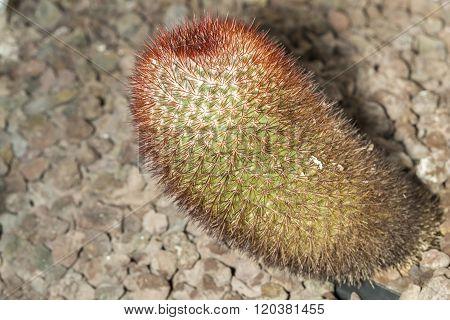 Spiny Pincushion Cactus Mammillaria Spinosissima