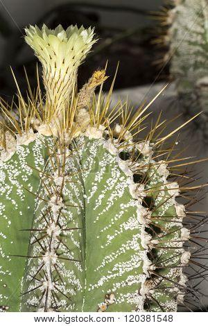Flower Of A Bishop's Cap Cactus, Astrophytum Ornatum