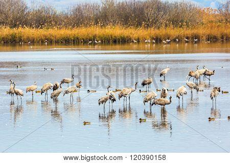 Fantastic winter dawn at Lake Hula. Upper Galilee, Israel. Migratory gray cranes wintering on the lake