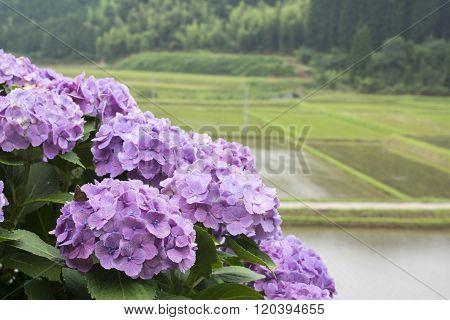 Pale purple hydrangea