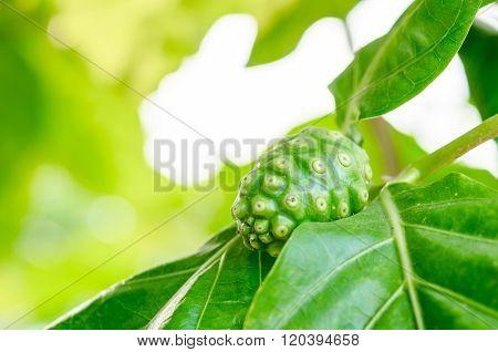 Noni Fruit On Tree.