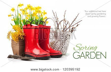 Spring flower yellow narcissus garden still life from red boot. Isolated on white background