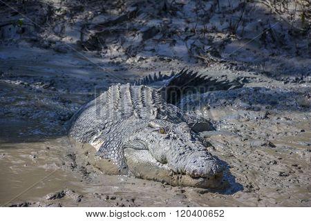 Big crocodile named 'Brutus' near the Adelaide River, Kakadu National Park, Darwin, Australia