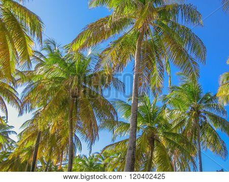 Caribbean coconut palms