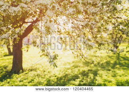 defocused bokeh background of apple garden with blossoming trees  in sunny day,