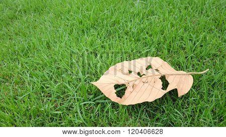 Dry leaf on green Grass