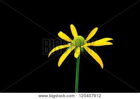 Black Eyed Susan flower against black background
