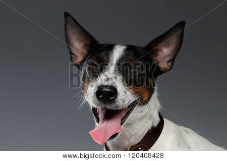 Closeup Portrait Of Winked Jack Russell Terrier Dog Squints