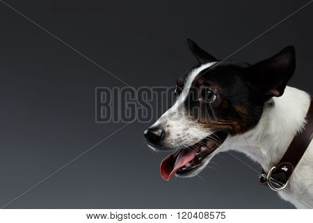 Closeup Portrait Of Jack Russell Terrier Dog In Profile View