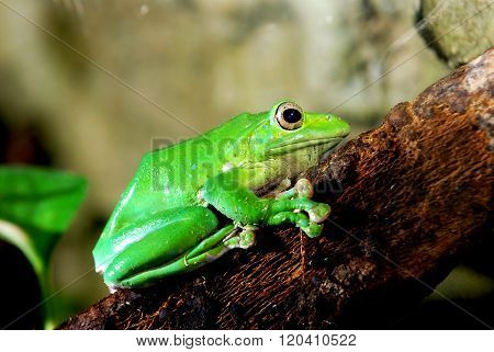 Colorful green frog Polypidates dennysii in natural environment