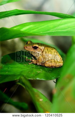 Small brown frog sitting under a green leaf