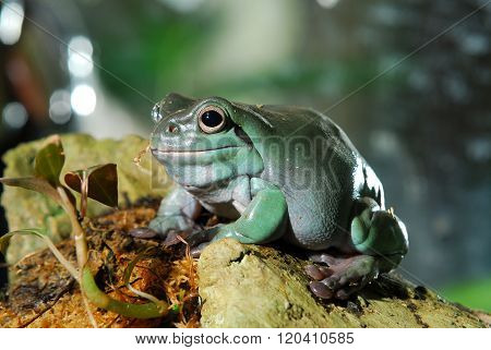 Colourful plump green frog in natural environment
