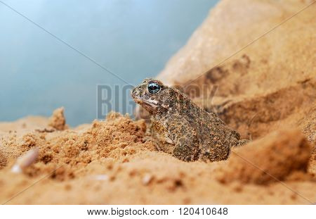 Sand toad next to its nest in natural environment