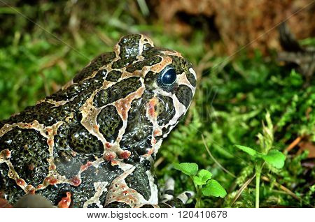 European frog in natural environment. Colourful frog with spots over moss.