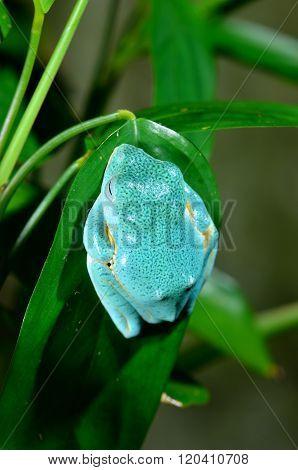 Bright blue tropical frog sleeping on a green plant leaf