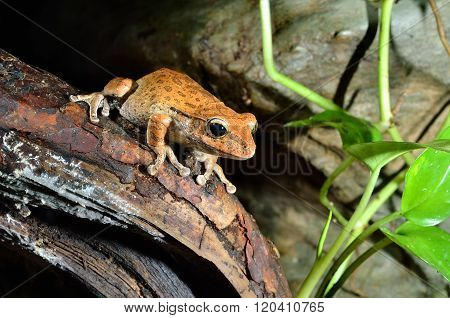 Brown tropical frog on a stick in natural environment