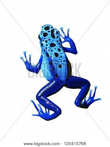 Colourful blue poison dart frog on white background. Isolated
