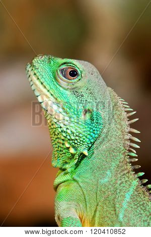 Colourful green iguana lizard head close-up. Lizard looking over shoulder.