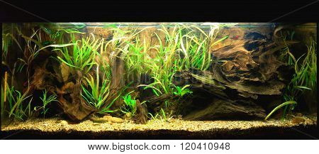 Natural freshwater aquarium representing tropical ecosystem. Green plants and wooden logs under wate