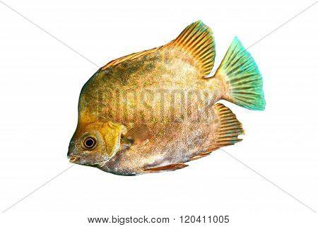 Marine fish Scatophagus argus atromaculatus isolated over white background
