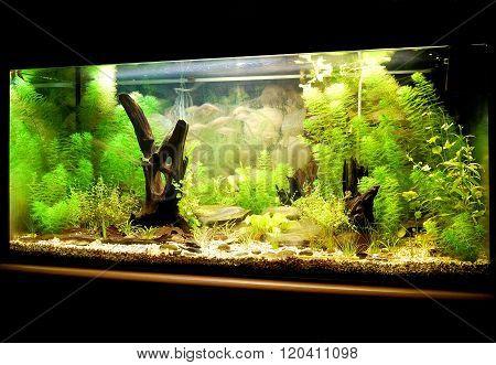 Natural freshwater aquarium representing european biotope. Lush green underwater plants.