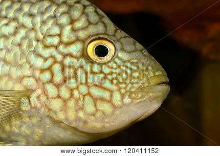 Exotic fish head with brown and light spots. Closeup.