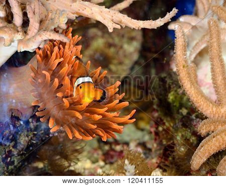 Clownfish Amphiprion ocellaris hiding in anemones in a tropical sea environment