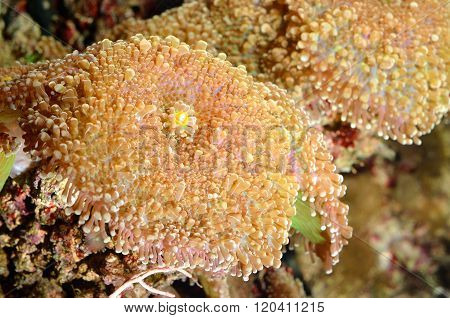 Sea anemones growing in tropical marine environment