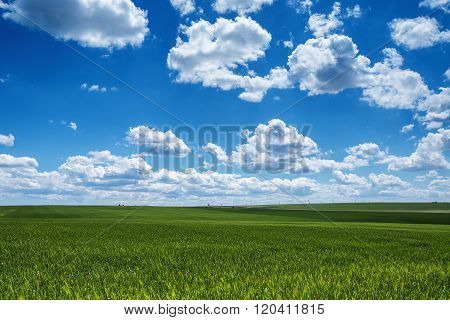 Farmland. Wheat field against blue sky with white clouds. Agriculture scene