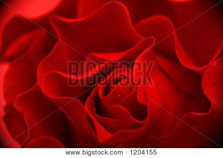 Petals Of The Rose