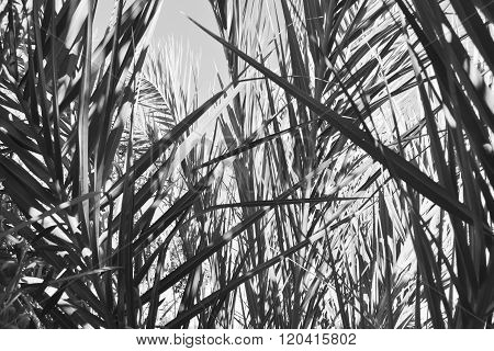 Date Palm Tree Leaves, Black And White Background