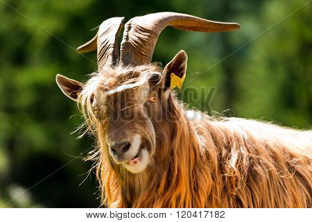 Mountain Male Goat - Italian Alps