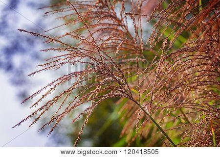 Flower Spikes Of The Zebra Grass