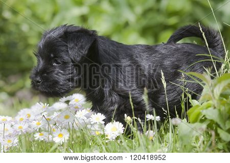 a miniature schnauzer puppy among bellis flowers