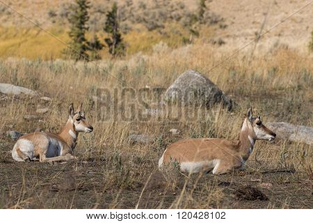 Pronghorn Antelope Doe and Fawn