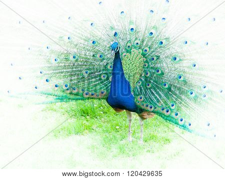 Portrait of peacock with spread feathers