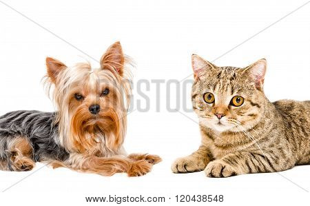 Portrait of cat Scottish Straight and Yorkshire terrier