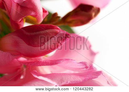 Unblown Bud Oleander Pink