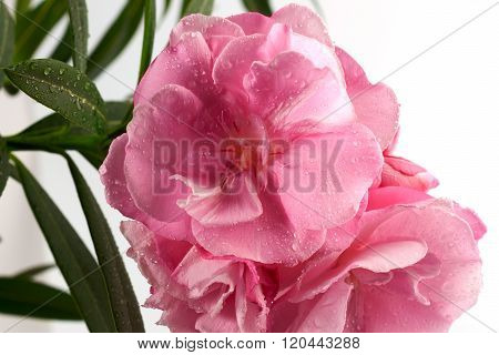 Oleander Flower In Dew Drops With Green Leaves