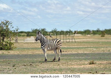 Zebra In Etosha, Namibia