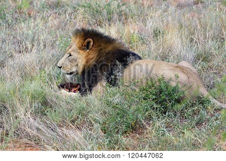 Male Lion, Namibia