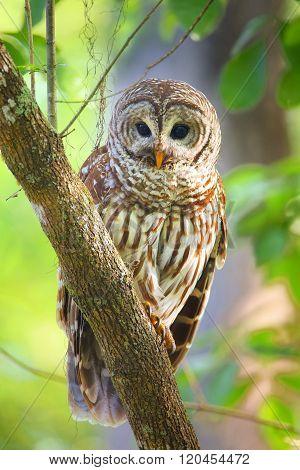 Barred Owl (strix Varia) Sitting On A Tree