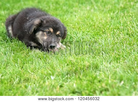 puppy eating on the lawn
