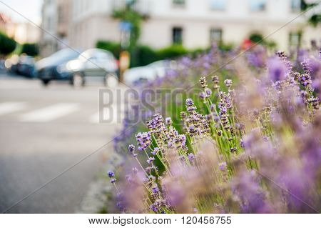 Beautiful Lavender Field With Car In The Background