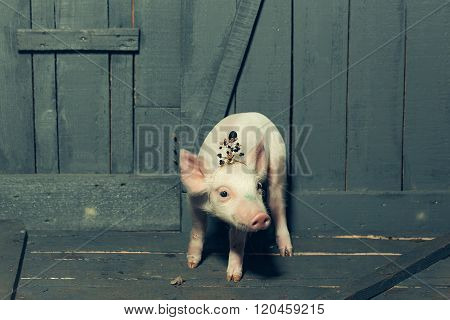 Small Pig In Crown