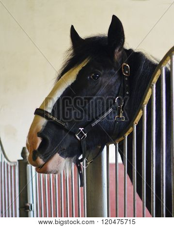 black horse with a big white blaze on the head looks out from the stall
