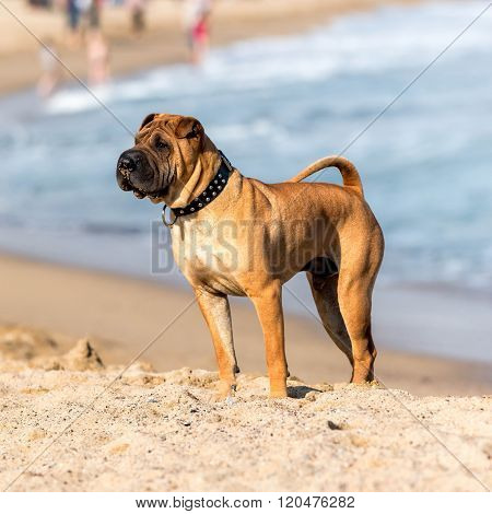 Strong Shar Pei dog standing in the sand