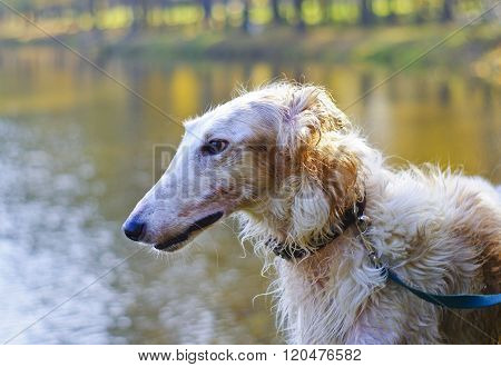shaggy white hunting dog is wearing a collar on a background of lake