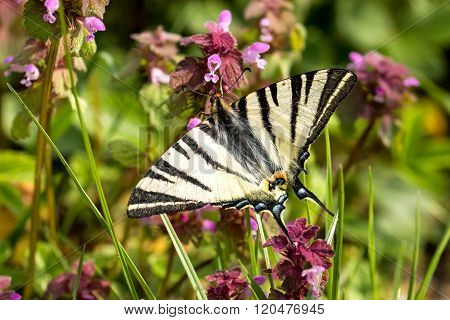Beautiful swallowtail (Papilio machaon ) on the flower