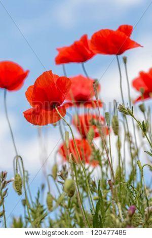 Poppy flowers in the green field(Papaver rhoeas)